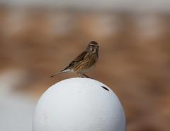 Spain (Bob Bain1) Tags: linnet spain camposol murcia mazarron wildlife europeanwildlife