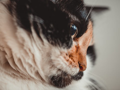 Flat face (donnicky) Tags: cat closeup domesticanimal home indoors lookingaway lowangleview nopeople oneanimal pet publicsec лилу