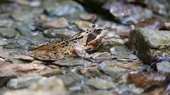 Grasfrosch (Aah-Yeah) Tags: grasfrosch frosch frog rana temporaria grassau achental chiemgau bayern