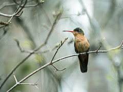 Cinnamon Hummingbird (nickathanas) Tags: trochilidae cinnamonhummingbird amaziliarutila