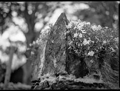 old stone wall, corner, top, tiny spring blossoms,  Asheville, NC, Mamiya 645 Pro, mamiya sekor 80mm f-2.8, 4.5.19 (steve aimone) Tags: stone stonewall top corner blossoms asheville northcarolina mamiya645pro mamiyasekor80mmf28 mamiyaprime primelens 645 120 120film film mediumformat monochrome monochromatic blackandwhite floralforms floral flowers backlit kodaktrix400