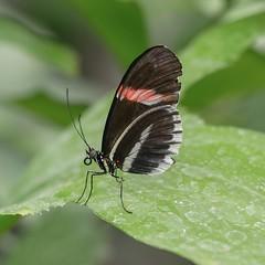 Heliconius erato (da.da13) Tags: panasonic lumix dmcg80 objektiv olympus mzuiko ed 60mm f28 macro detail nature insect butterfly heliconius erato