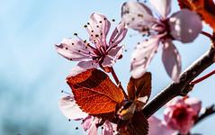 6M7A5500 (hallbæck) Tags: kirsebærblomster cherryblossoms cherry blossoms flower blomst natur nature floral spring forår macro canoneos5dmarkiii ef100mmf28lmacroisusm hørsholm denmark