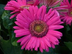 Gerber Daisy (npbiffar) Tags: garden outdoor flower daisy plant bright npbiffar macro fz200 lumix coth5 ngc