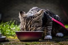 Starbuck (HRLM&TS Photography) Tags: pet feline ricohpentax pentaxk1markii pentax eating eat katze gato kat cat