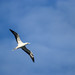 Red-footed booby ('A)