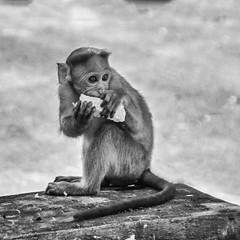 Biting an empty corn cob! (Bhuvan N) Tags: portrait animal animals monkey monkeys animalportrait nikon tamron street streetphotography india ape bnw bw blackandwhite absoluteblackandwhite outside flickr eating mono monochrome