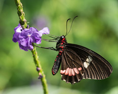 Sipping Some Purple (lclower19) Tags: magicwings sodeerfield butterfly massachusetts