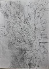 IMG_7218 (Kazuko Tsukioka) Tags: lily flower drawing pencil