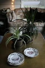 _MG_7677 (condor avenue) Tags: olympia washington thesecretgarden plantbabies spiderplant dragontree
