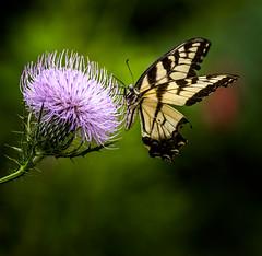 Tiger Tickler (Portraying Life, LLC) Tags: michigan unitedstates pentax ricoh butterfly k1 da3004 hd14tc flower thistle meadow handheld closecrop nativelighting