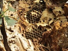 IMG_3836 (belight7) Tags: hornets nest uk amazing nature