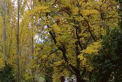 Autumn foliage (lebre.jaime) Tags: portugal beira covilhã jardimbotânicodemontanha tree treetop analogic film film135 canon eoskiss ef753004056 epson v600 affinity affinityphoto kodak portra400 eosrebel
