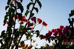 Flowers against the sky (.Stephen..Brennan.) Tags: da70 flowers foliage pentax pentaxk3 perth westernaustralia australia au 70mm