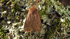 Conistra vaccinii (Chestnut) (Bruce Hurst aka Zincfreud) Tags: macromoths moths lepidopterans lepidotera insects entomology