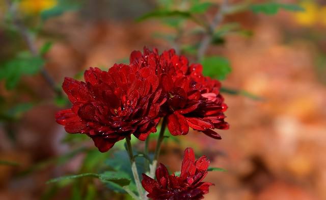 Обои Капли, хризантемы, Боке, Bokeh, Красные цветы, Drops, Red flowers картинки на рабочий стол, раздел цветы - скачать