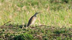 Squacco Heron (9406) (Bob Walker (NM)) Tags: bird standing grass heron squaccoheron ardeolaralloides zambezimubala caprivistrip namibia