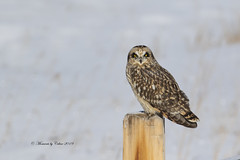 Short-Eared Owl (Canon Queen Rocks (2,715,000 + views)) Tags: owls birds beak birdsofprey bird wildlife shortearedowl wings wild nature raptors feathers eyes post perched outside white snow winter alberta canada
