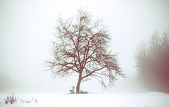 little tree in fog (1 of 1) (Wingsagainstthewind) Tags: snow fog outside tree bleak winter lonely alone bare leafless branches