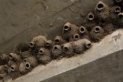 American cliff swallow nests (Zachary Cava) Tags: cliffswallow americancliffswallow swallow petrochelidonpyrrhonota animalia chordata aves passeriformes hirundinidae petrochelidon nests mudnests animalarchitecture ecology wildlife nature birds birdnests trypophobia trypophilia colony nestingcolony