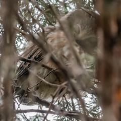 Saw-Whet Owl (second One) (Kevin E Fox) Tags: sawwhetowl owl raptor bird birding birdwatching birds birdofprey sigma150600sport sigma nature nikond500 nikon newbritain pa pennsylvania