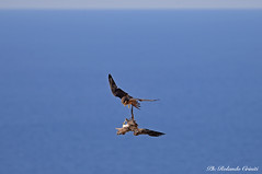 Falco della regina _012 (Rolando CRINITI) Tags: falco falcodellaregina uccelli uccello birds ornitologia avifauna rapaci carloforte oasilipu sardegna natura isoladisanpietro