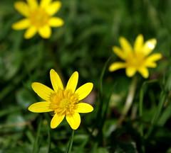 Yellow stars. (pstone646) Tags: flower flora yellow green bokeh nature trio three celandines woodland colour closeup