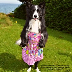 Flippin Heck it's Shrove Tuesday (ASHA THE BORDER COLLiE) Tags: pancake day shrove tuesday funny dog picture border collie apron quote ashathestarofcountydown connie kells county down photography littledoglaughedstories