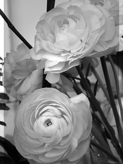 harada-flowers-83 (annie harada) Tags: flowers hana blumen fleurs bouquet noir et blanc black white
