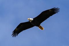 Eagle [02.14.19] (Andrew H Wagner | AHWagner Photo) Tags: 5dmk3 5d3 5dmkiii 5dmarkiii 5dmark3 canon eos 100400l 100400mm f4556l f4556 is ii usm zoom telephoto 100400lii eagle conowingodam conowingo dam conowingohydroelectricplant conowingohydroelectricstation eagles nature bird birdsofprey susquehannariver