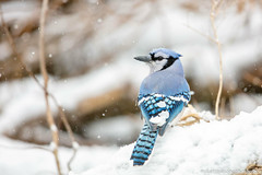 Blue Jay (miketimmonsphoto.com) Tags: mike timmons aba indiana bird nature wildlife jay miketimmons
