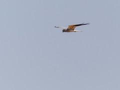 Montagu's Harrier (Mike Prince) Tags: accipitridae aves birds circuspygargus india jayamangaliblackbuckreserve karnataka kiteshawksandeagles maidenahalli montagusharrier mydenahalli birdsofprey raptors