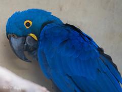 Hyacinthara1 (Borreltje.com) Tags: hyacinthara ara parrot papegaai zoo dierentuin burgerszoo wildlife bird birds vogel vogels