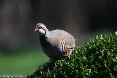 Has anybody here seen Alan? (Katy Wrathall) Tags: garden partridge redleggedpartridge england march eastriding gamebird 36580 spring 2019pad 2019 alectorisrufa eastyorkshire