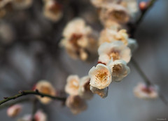plum blossoms (Christine_S.) Tags: olympus nature garden japan plums bokeh omd 45mm em10 mirrorless flowers flower