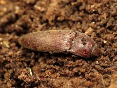 Click Beetle (treegrow) Tags: nature lifeonearth raynoxdcr250 arthropoda glendining maryland insect beetle coleoptera elateridae melanotus