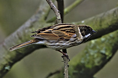 Reed Bunting 1 26 May 2019 (Tim Harris1) Tags: nikond7100 nikkor80400afs sculthorpemoor norfolk reedbunting bird