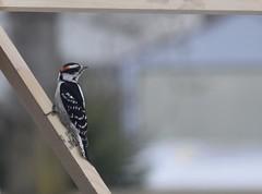 Male downy woodpecker (kirsten.eide) Tags: birder male downy woodpecker birds d3300 nikon
