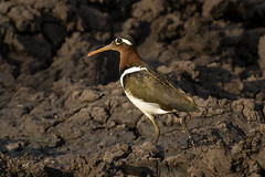 Greater Painted Snipe, Sweni Road, Kruger National Park, Jan 2019 (roelofvdb) Tags: 2019 242 date greaterpaintedsnipe january knp place satara snipe snipegreaterpainted southernafricanbirds year