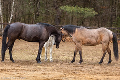 Group Huddle (Samantha Decker) Tags: canonef135mmf2lusm canoneos6d ny newyork samanthadecker equine horse pony upstate