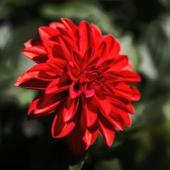 Red Bedding Dahlia 2019-04-01 (5D_32A2364) (ajhaysom) Tags: dahlia bluemountainsbotanicgardens newsouthwales flower canoneos5dmkiii canon100mmlmacro australia 100flowers2019 image45100
