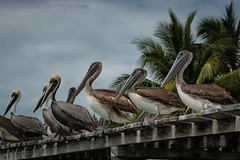 2019 in a queue (jeho75) Tags: sony ilce 7m2 g oss animals birds pelicans mexico mesoamerica waiting for fishing
