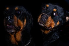 How you looking at! (spiritofwales.photo) Tags: photography photographer portrait rottweiler dogs blackandtan pets