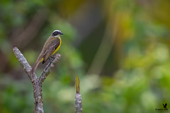 Just being social (Osprey-Ian) Tags: socialflycatcher lagunadellagartolodge costarica