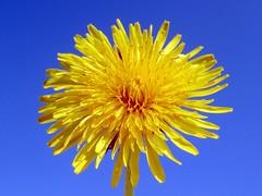 Dandelion (billnbenj) Tags: barrow cumbria walneyisland dandelion blueandyellow springflower