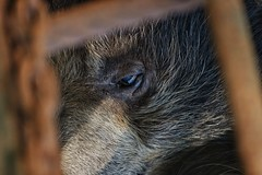 Caged Bear in frustration (Praveen Banneka) Tags: sad sadness bear caged srilanka zoo asia soutasia black white old famous eye teardrop tears closeup bearface face brown animal srilankan wild wildlife