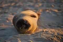 Sunbathing Seal (radkuch.13) Tags: seal sunny sun sunbath sunbathing europe poland beach sand krynicamorska sony sonyalpha a7rii