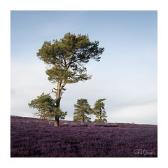 tree's a crowd (GJ Duncan Photography) Tags: scotland visitscotland discoverscotland tree heather scottishlandscape outdoors hillwalking bluesky nikon peaceful chilly sunrise sidelight golden