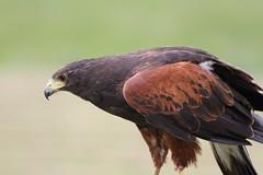 IMG_1404 (Stefan Kusinski) Tags: hemsley duncombe ncbp birdofprey