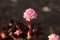 Persicaria capitata  ヒメツルソバ (ashitaka-f studio k2) Tags: flower pink red japan persicaria capitata ヒメツルソバ タデ科 イヌタデ属 polygonaceae